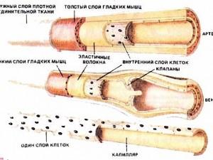 Защита сосудистой стенки с использованием комбинацииблокатора ренин–ангиотензиновойсистемы и дигидропиридиновогоантагониста кальция