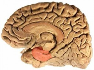 Мозг женщин увеличивается перед овуляцией