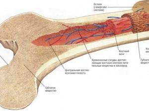 Клетки костного мозга могут помочь при сердечной недостаточности