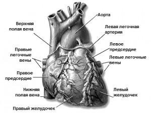 Аризонский опыт сердечно-легочной реанимации при внезапной сердечной смерти.