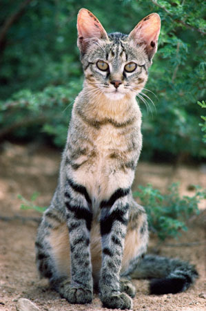 Коты могут вылечить инсульт, артрит, атеросклероз и другие недуги человека