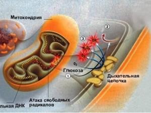 Антиоксиданты укрепляют сосуды