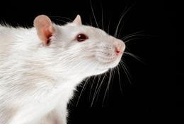 Белковый гормон стимулирует память