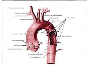Заболевание периферических артерий сильнее сказывается на женщинах