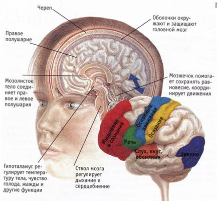 Визуализация развития межнейронных связей в мозге у грудных детей