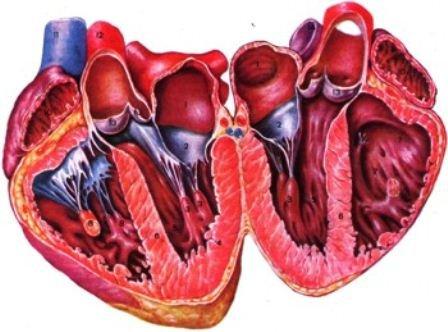 Патогенез и этиология пролапса митрального клапана