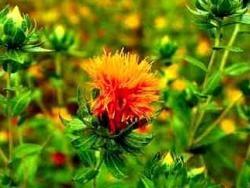 Цветок Сафлор производит проинсулин для больных диабетом