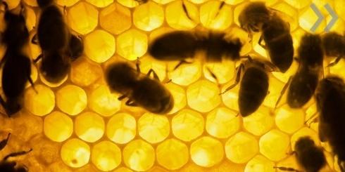 Пчелы расскажут, как человеку избежать слабоумия