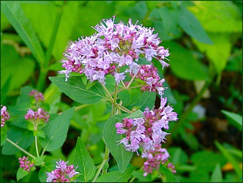 Травы душицы и зеленый чай против головной боли