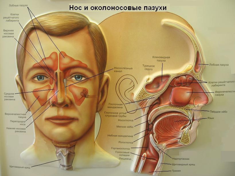 Эффективное лечение гайморита народными средствами