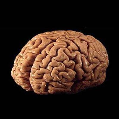 Найден регулятор деления нервных клеток во взрослом мозге