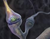 Фокус на синапс: полноценные синаптические соединения нейронов получены в лабораторных условиях