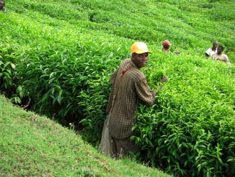 Африканский чай лечит диабет второго типа