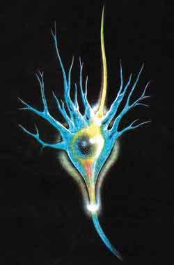 Глиоциты головного мозга – больше, чем просто соединительные клетки