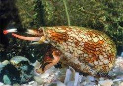 Смертельно опасный яд экзотического моллюска и лечение диабета: что общего