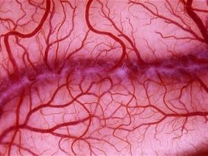 Французским ученым удалось доставить клетки, восстанавливающие кровеносные сосуды, к поврежденным тканям сердечной мышцы при помощи наночастиц оксида железа и магнита