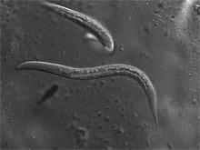 Ученые вылечили диабет с помощью червей-паразитов