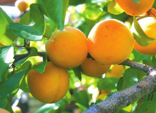 Поединок абрикоса с катарактой