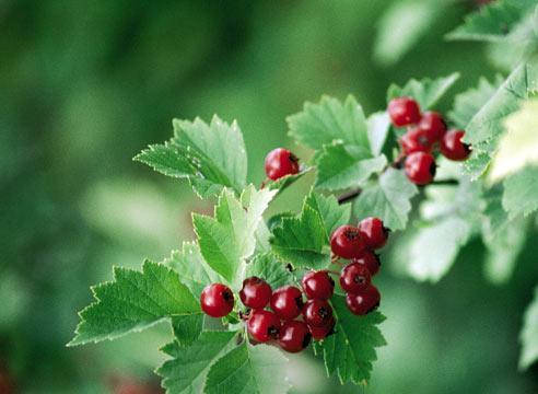 Растения в помощь сердцу