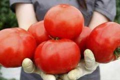 Из помидоров будут делать таблетки для сердечников