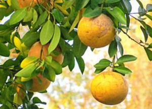 Грейпфрут может помочь предотвратить развитие сердечно-сосудистых заболеваний