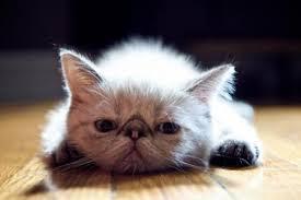 Что делать, если кошка отказывается есть?