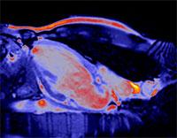Вакцина от инфаркта успешно испытана на грызунах