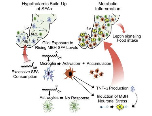 Выявлена новая функция микроглии в мозге