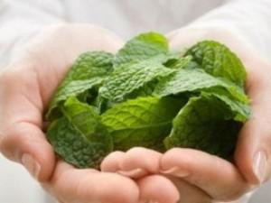 Мята – отличное средство для здоровья и укрепления организма