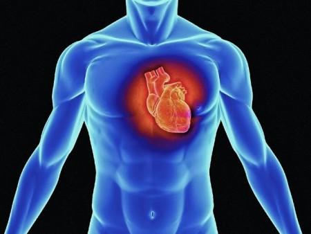 Развитие и возрастные особенности сердца