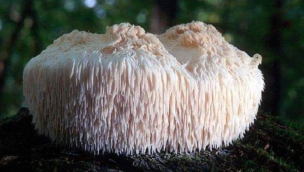 Съедобный гриб поможет при неврологических расстройствах