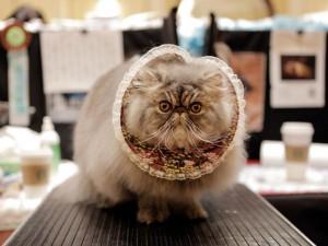Кошачьи выставки