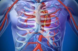 Анатомия проводниковой системы сердца
