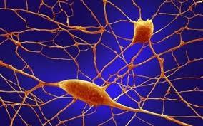 Нейроны головного мозга способны трансформироваться