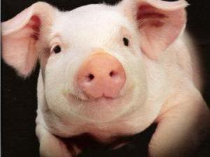 В ближайшем будущем людям начнут пересаживать сердца свиней, — ученые