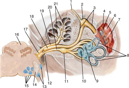 Особенности возвратного нерва