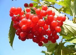 Лечение сердечной недостаточности лекарственными растениями