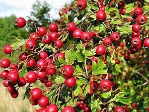 Лекарственные травы для улучшения циркуляции крови