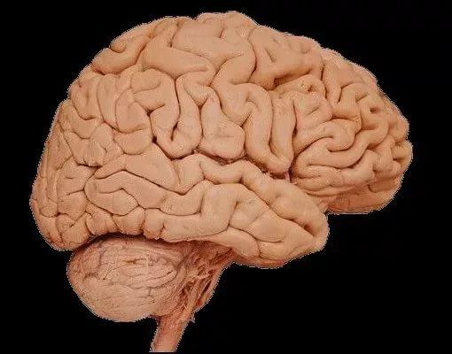 Австралийские ученые смогли вырастить мозговую ткань на полупроводниковой пластине