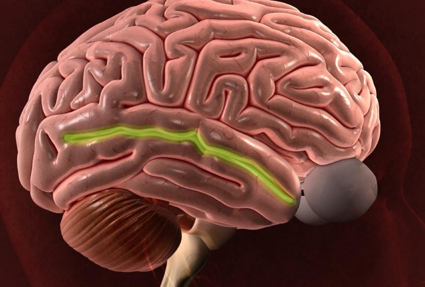За желание продолжения рода и сентиментальность отвечают одни и те же участки мозга