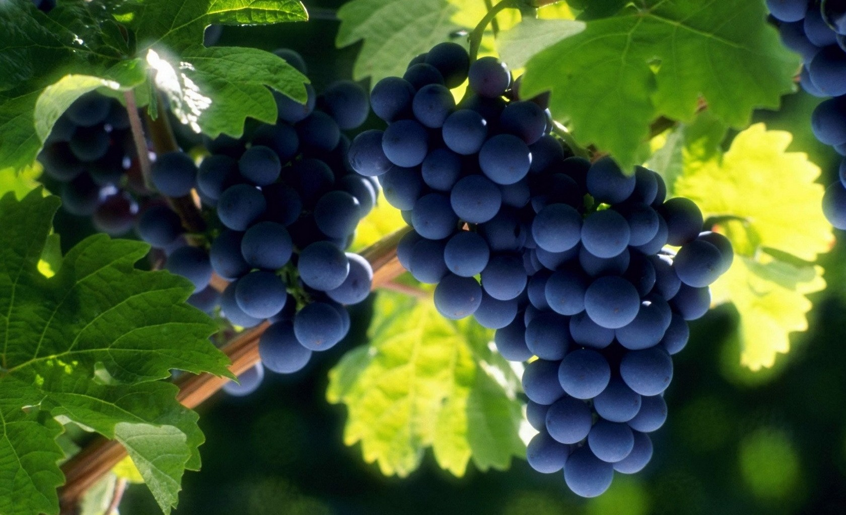 Виноград полезен для памяти