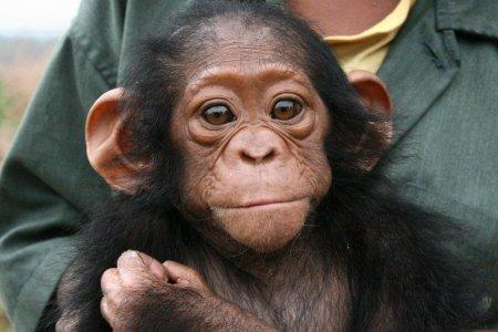 У шимпанзе обнаружили болезнь Альцгеймера