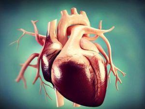 Лишний вес делает сердце человека крупным и тяжелым