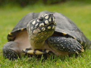 Почему остановка сердца не вредит черепахам (и как это поможет людям)?