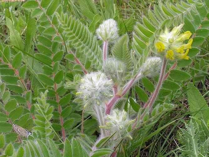 Астрагал – ценное целительное растение традиционной китайской медицины