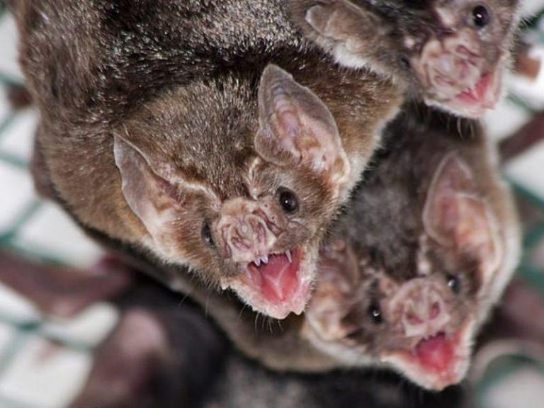 Летучие мыши-вампиры могут вылечить от гипертонии