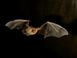 Средство от гипертонии найдено в слюне летучих мышей