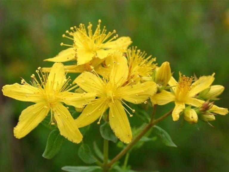 Зверобой и другие растения, повышающие давление