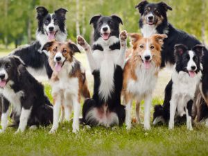 Инфекционные заболевания пастушьих и скотогонных собак