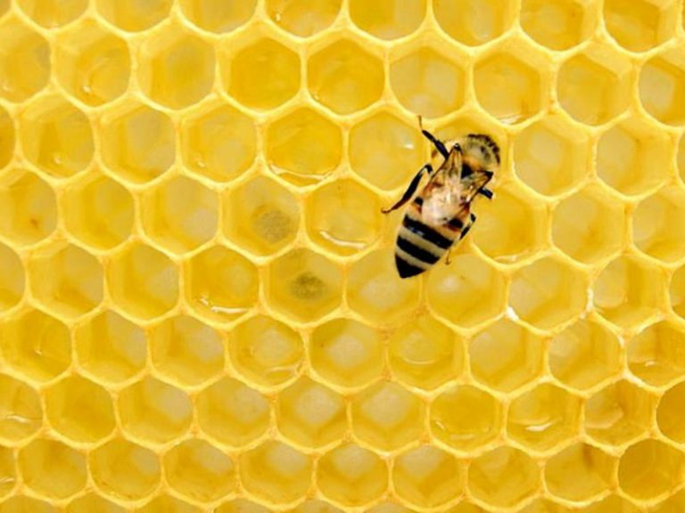 Пчелы помогут снизить артериальное давление